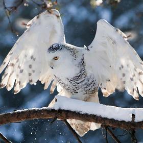 Crazy-Owl