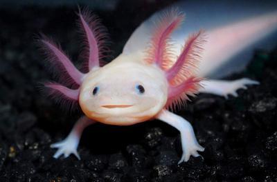 axolotl-animal-reader.ru-002.jpg